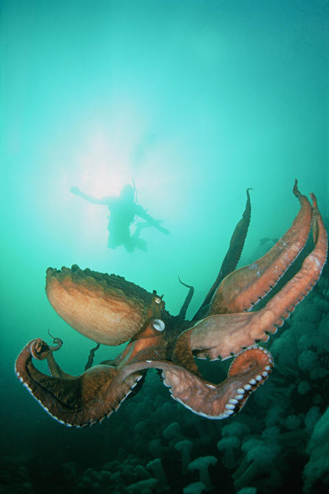 After a single mating, North Pacific giant octopus females lay up to 100,000 eggs in a den, then take care of them until they hatch and she dies.