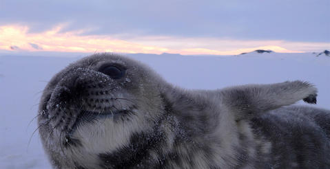 Weddell seals can remain underwater for up to an hour while hunting.
