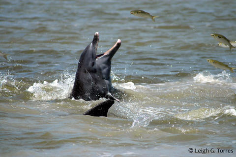 Bottlenose dolphin catches fish off the coast of Florida.