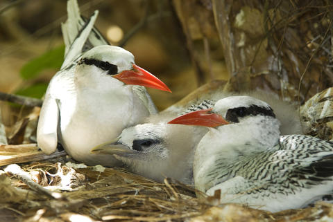 Red-billed Tropicbirds in their nest.