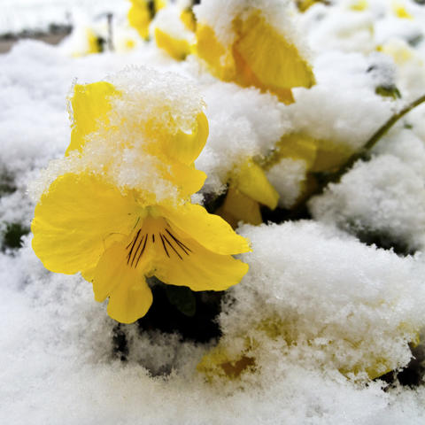 "Honorable mention for the SunShots series ""Signs of Spring"" is Robert Hennessy for his picture of pansies in snow. The photo was taken with an Apple iPhone 4s. Here is a critique by Baltimore Sun Director of Photography Robert Hamilton: ""I liked the visual contrast of this picture. The bright yellow flowers against the while snow provides a symbolic crossover from winter to spring."""