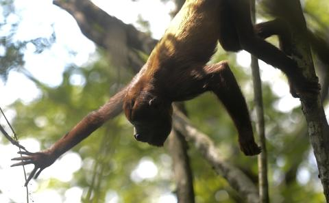 A red howler monkey (Alouatta seniculus), upon being released in a protected forest area in the Armenia Mantequilla municipality, western Antioquia department, Colombia on December 16, 2013.