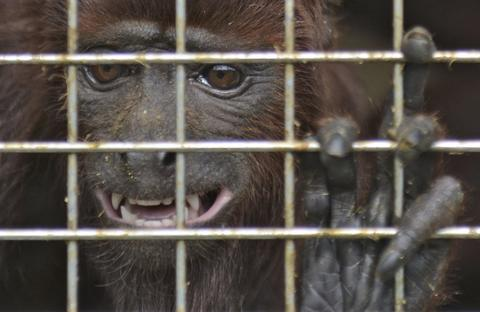 A red howler monkey (Alouatta seniculus), is seen in a cage before being taken into a protected forest area in the Armenia Mantequilla municipality, western Antioquia department, Colombia on December 16, 2013.