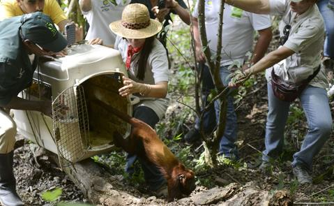 A red howler monkey (Alouatta seniculus), is released in a protected forest area in the Armenia Mantequilla municipality, western Antioquia department, Colombia on December 16, 2013.