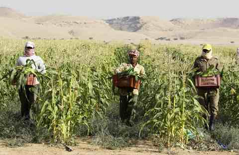 Farmers carry boxes containing freshly harvested corns on a farm in Al-Kharj, 77 km (48 miles) south of Riyadh December 20, 2013.