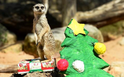 A meerkat stands guard on a present next to a Christmas tree as animals at Sydney's Taronga Zoo received Christmas-themed treats in their enclosures on December 20, 2013.