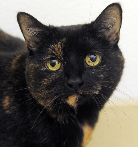 Abigail needs a few minutes to warm up to new people, but she's loyal and friendly. You'll know when she's happy by her purr, and at 11 years old, she offers the bonus of being a warm companion who has gotten all the kitten out of her system. She's at the Baltimore Humane Society.