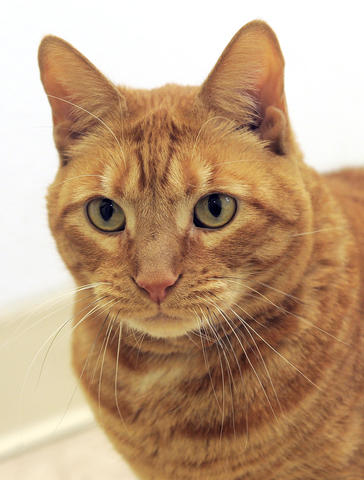The name means lion, and he wants to be the king of his castle. He prefers the company of adults and likes his alone time, but he's also sweet and loving. Five years old, Simba has developed a reputation around the Baltimore Humane Society as one cool -- and gorgeous -- cat.