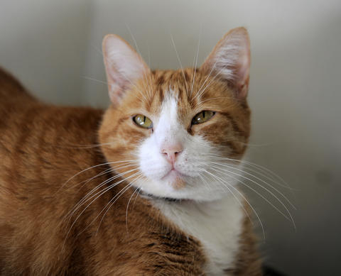 Currently living at the Humane Society of Harford County, Baby is a 7-year-old domestic shorthair mix, whose beautiful orange coat is sure to catch admirers' eyes. Baby is sweet and full-figured.