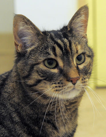 Ten-year-old Layla was returned to Baltimore Humane Society by a guardian who developed health issues. She's an independent girl. She may be a little overweight, but she is a happy cat who likes being doted on and who, like all cats, does her own thing.