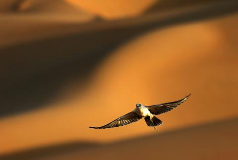 A falcon flies over the Liwa desert, 220 kms west of Abu Dhabi, on the sidelines of the Mazayin Dhafra Camel Festival on December 21, 2013. The festival, which attracts participants from around the Gulf region, includes a camel beauty contest, a display of UAE handcrafts and other activities aimed at promoting the country's folklore.