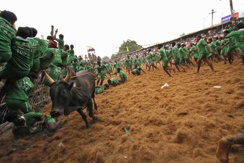 Villagers try to protect themselves from a bull during a bull-taming festival on the outskirts of Madurai town, about 500 km (310 miles) from the southern Indian city of Chennai, January 15, 2014.