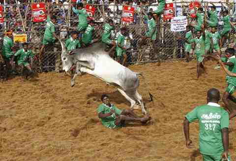 A bull jumps over a villager during a bull-taming festival on the outskirts of Madurai town, about 500 km (310 miles) from the southern Indian city of Chennai, January 15, 2014.