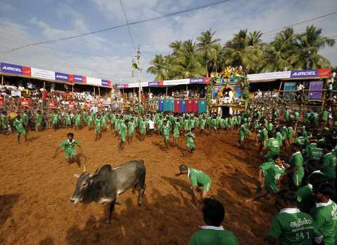 Villagers chase a bull during a bull-taming festival on the outskirts of Madurai town, about 500 km (310 miles) from the southern Indian city of Chennai, January 15, 2014.