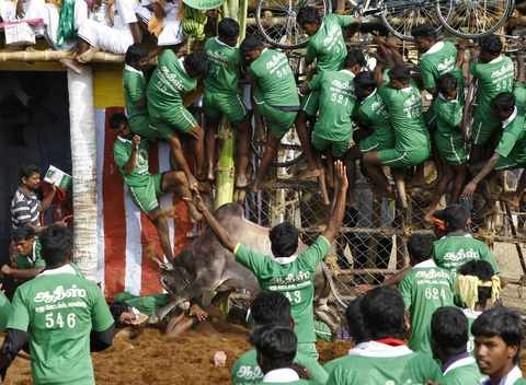 Villagers are pinned down by a bull as others climb a fence to protect themselves during a bull-taming festival on the outskirts of Madurai town, about 500 km (310 miles) from the southern Indian city of Chennai, January 15, 2014.