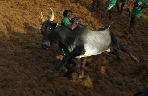 A villager tries to control a bull during a bull-taming festival on the outskirts of Madurai town, about 500 km (310 miles) from the southern Indian city of Chennai, January 15, 2014.