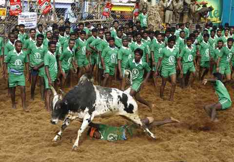 A villager is dragged by a bull during a bull-taming festival on the outskirts of Madurai town, about 500 km (310 miles) from the southern Indian city of Chennai, January 15, 2014.