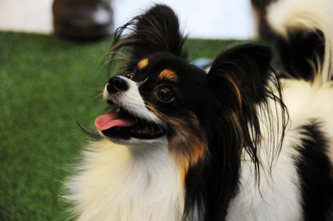 A papillon dog 'Carly' performs at the 138th Annual Westminster Kennel Club Dog Show press conference at Madison Square Garden on January 15, 2014 in New York City.