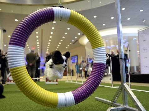 A Papillon jumps through a hoop during a press event at Madison Square Garden  January 15, 2014 to  promote the First-ever Masters Agility Championship at the 138th Annual Westminster Kennel Club Dog Show . Dogs entered in the Agility trial will be on hand to demonstrate skills required to negotiate some of the challenging obstacles that they will need to negotiate on Saturday, February 8.