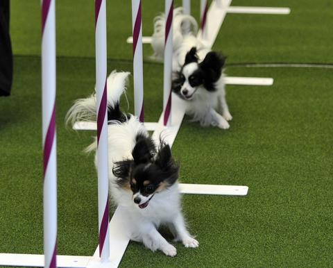 Two Papillons run an obstacle course during a press event at Madison Square Garden  January 15, 2014 to  promote the First-ever Masters Agility Championship at the 138th Annual Westminster Kennel Club Dog Show . Dogs entered in the Agility trial will be on hand to demonstrate skills required to negotiate some of the challenging obstacles that they will need to negotiate on Saturday, February 8.