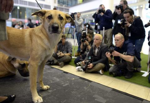 A Chinook, one of three new breeds, meets the press during a press event at Madison Square Garden  January 15, 2014 to  promote the First-ever Masters Agility Championship at the 138th Annual Westminster Kennel Club Dog Show . Dogs entered in the Agility trial will be on hand to demonstrate skills required to negotiate some of the challenging obstacles that they will need to negotiate on Saturday, February 8.