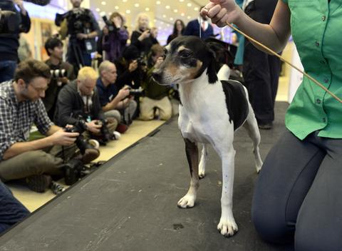 A Rat Terrier, one of three new breeds, meets the press during a press event at Madison Square Garden  January 15, 2014 to  promote the First-ever Masters Agility Championship at the 138th Annual Westminster Kennel Club Dog Show . Dogs entered in the Agility trial will be on hand to demonstrate skills required to negotiate some of the challenging obstacles that they will need to negotiate on Saturday, February 8.