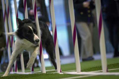 Gem, a border collie, demonstrates an agility test as part of a news conference to announce the line up for the 138th Westminster Kennel Club Dog Show at Madison Square Garden in Manhattan in New York January 15, 2014.