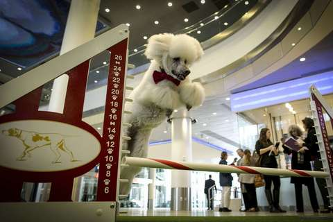 Callia, a standard poodle, jumps to demonstrate an agility test as part of a news conference to announce the line up for the 138th Westminster Kennel Club Dog Show at Madison Square Garden in Manhattan in New York January 15, 2014.