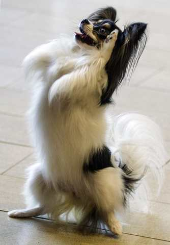 Carly, a papillon, begs for a treat during a news conference to announce the line up for the 138th Westminster Kennel Club Dog Show at Madison Square Garden in Manhattan in New York January 15, 2014.