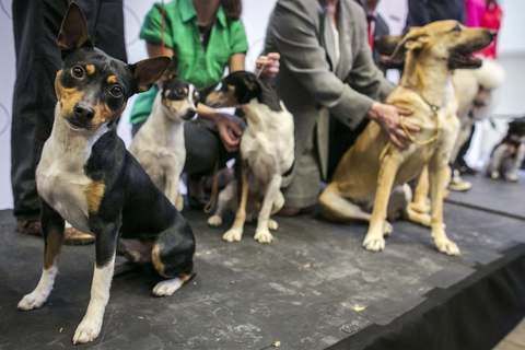 A rat terrier is introduced as a new breed during a news conference to announce the line up for the 138th Westminster Kennel Club Dog Show at Madison Square Garden in Manhattan in New York January 15, 2014.