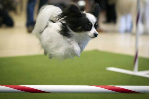 Carly, a papillon, performs agility tricks during a news conference to announce the line up for the 138th Westminster Kennel Club Dog Show at Madison Square Garden in Manhattan in New York January 15, 2014.