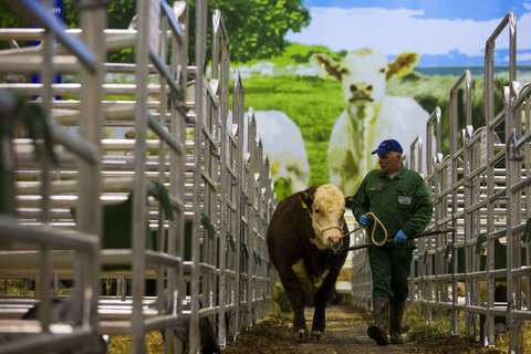 A man guides a cow into its enclosure at the animal pavilion during preparations for the Green Week international food, agriculture and horticulture fair in Berlin, January 16, 2014.