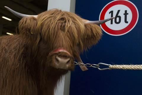 A Shetland bull is moved into a hall during preparations for the Green Week international food, agriculture and horticulture fair in Berlin, January 16, 2014.