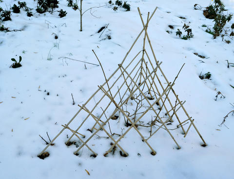 Chris Killian of Annapolis used a collapsible bamboo pyramid trellis to deer-proof a calycanthus shrub in her garden.