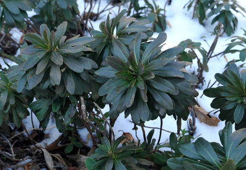 Low-growing euphorbia plants don't seem bothered by the snow in the winter garden at Chris Killian's Annapolis home.