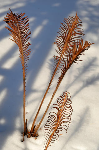 Dried ostrich ferns cast delicate shadows in the winter garden of Chris Killian of Annapolis