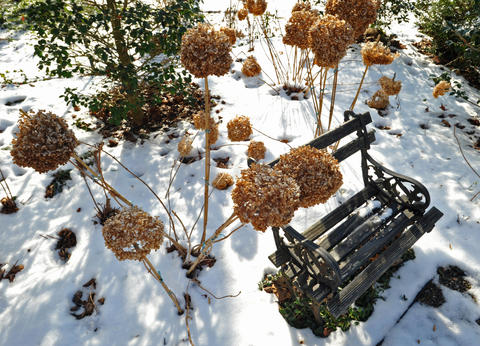 Dried blooms from an Annabelle hydrangea, staked with bamboo to remain upright, sway around a bench at the home of Chris Killian in Annapolis.