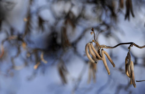 Catkins on a branch of Harry Lauder's walking stick in the winter garden of Alice Ryan in Easton.