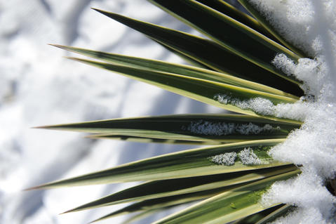 Snow on a yucca plant in Alice Ryan's gardens in Easton.