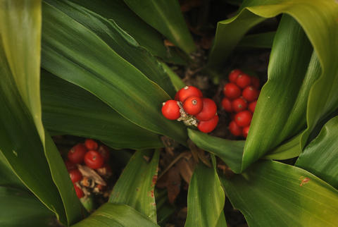 Tight clusters of red berries are visible near the base of the sacred lily plant in Chris Killian's Annapolis garden.
