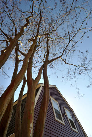 A crepe myrtle makes a dramatic statement against the sky in the winter garden of Chris Killian of Annapolis.