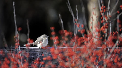 A mockingbird sits on a fence behind winter berries in Alice Ryan's Easton garden. Birds are another attraction in the winter garden.