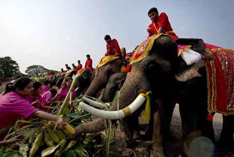 "Elephants are fed fruit during the elephant banquet to mark ""National Elephant Day"" in Ayutthaya province on March 13, 2014."