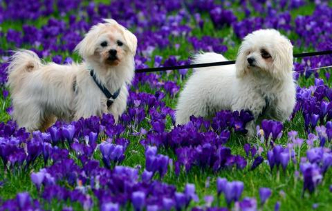 Dogs stay among blossoming crocuses on February 28, 2014 in Duesseldorf. AFP PHOTO / DPA / HORST OSSINGER / GERMANY OUTHORST OSSINGER/AFP/Getty Images ORG XMIT: