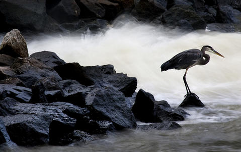 A Great blue heron finds a rock to be it's best fishing perch along a storm water outflow into the James River.
