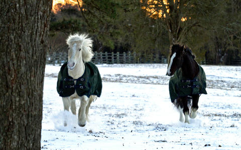 Two horses run together in the fresh snow next to Francis Street in Colonial Williamsburg.