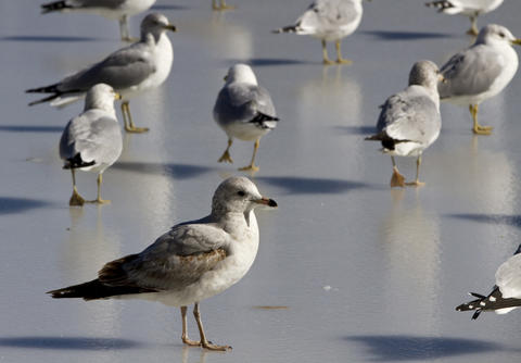 Birds walk on the frozen surface of Lake Maury near the Lions Bridge on Thursday in Newport News.