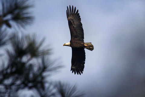A bald eagle flies through the sky above Jamestown Island near the Historic Jamestowne Museum Thursday morning.