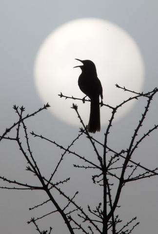 Staff Photo Of The Week: April 5-April 11, 2014 A mockingbird sings from its lofty perch as the sun attempts to break though a heavy layer of fog early Friday morning. Fog warnings on roadways and bridges for motorists should continue throughout the morning.