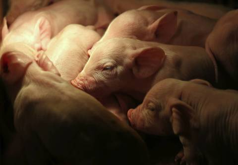 Newborn piglets snuggle together for warmth in the nursery.